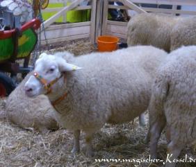 Schaf-Grüne-Woche