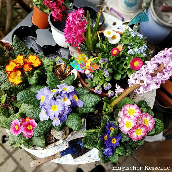 Tisch voller Frühlingsblumen (Primeln, Hyazinthen, Stiefmütterchen, Narzissen)
