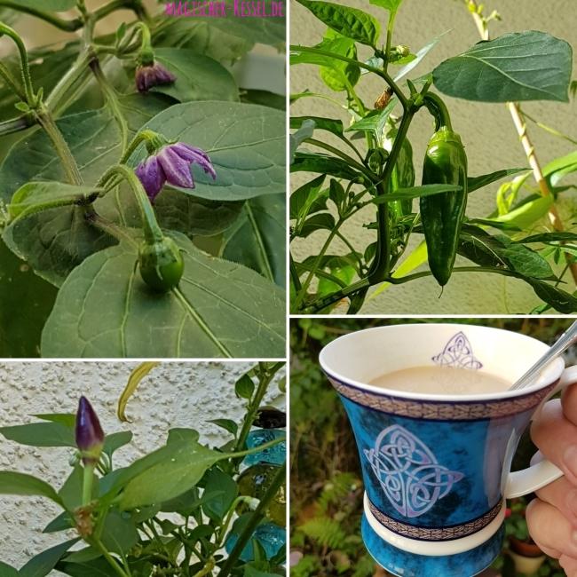Chili-Pflanzen mit Blüten und Chilischoten daran - gezogen auf dem Balkon im lichtten Schatten