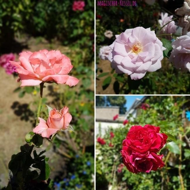 Blühende Rosen aus dem Garten meiner Mutter